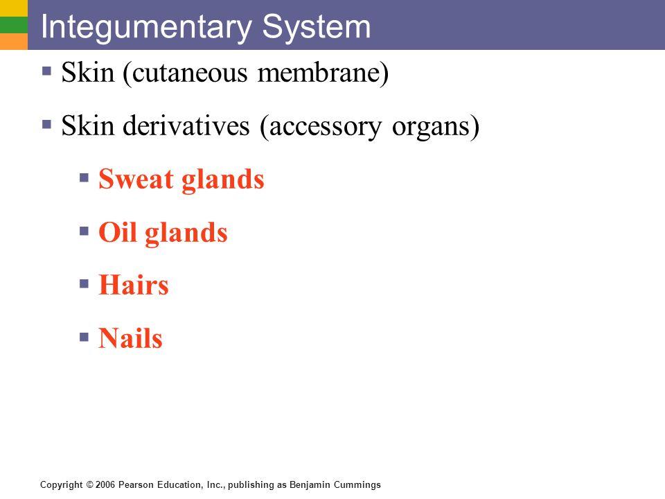 Integumentary System Skin (cutaneous membrane)