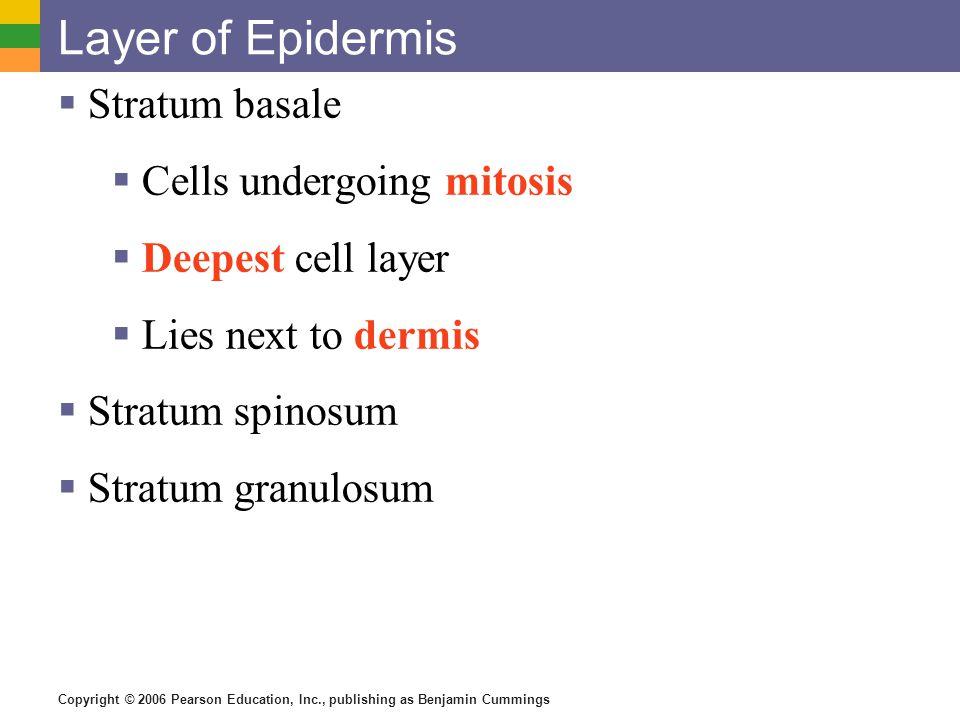 Layer of Epidermis Stratum basale Cells undergoing mitosis