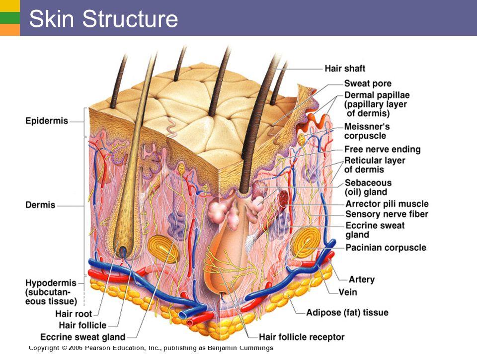 Skin Structure Figure 4.4