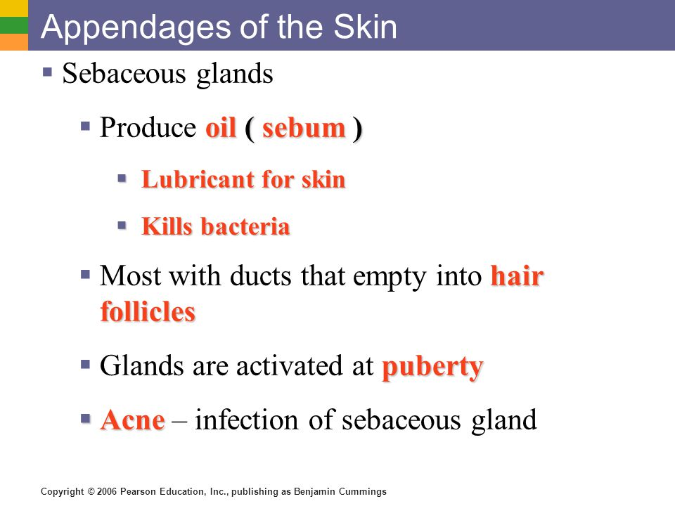 Appendages of the Skin Sebaceous glands Produce oil ( sebum )