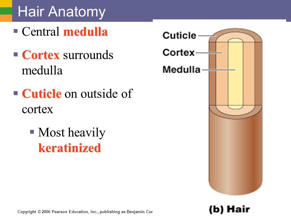 Hair Anatomy Central medulla Cortex surrounds medulla
