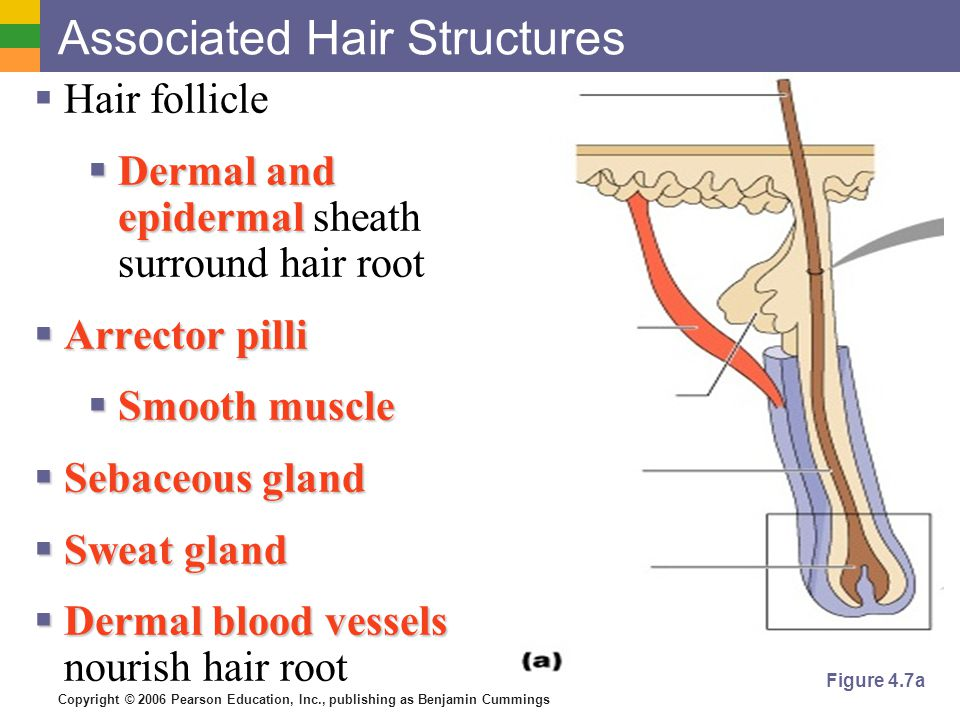Associated Hair Structures