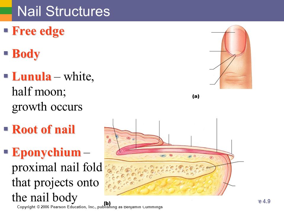 Nail Structures Free edge Body