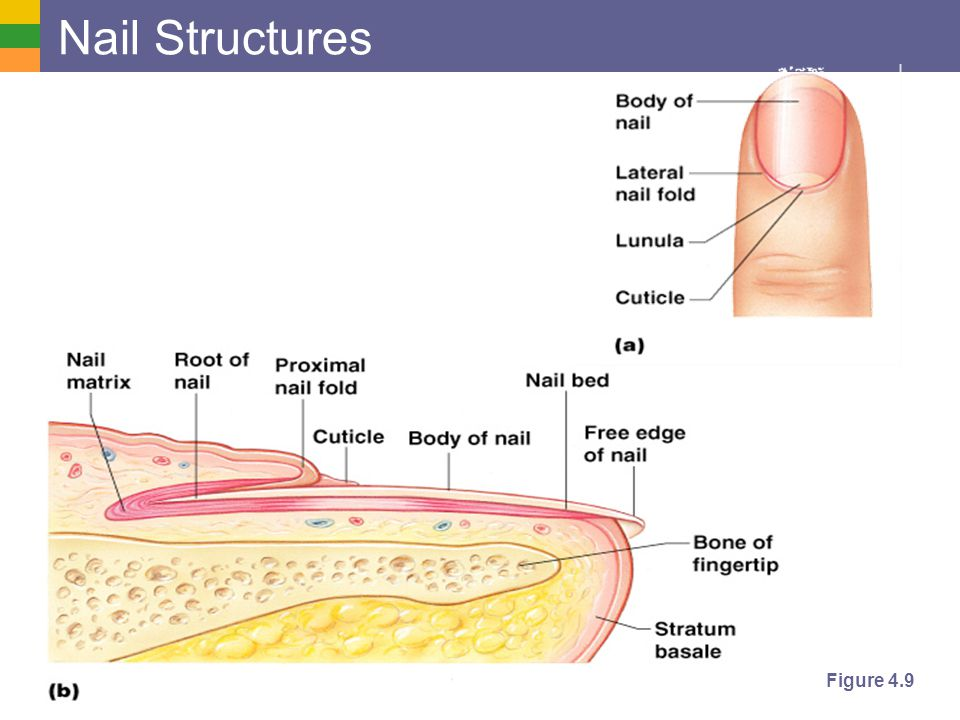Nail Structures Figure 4.9