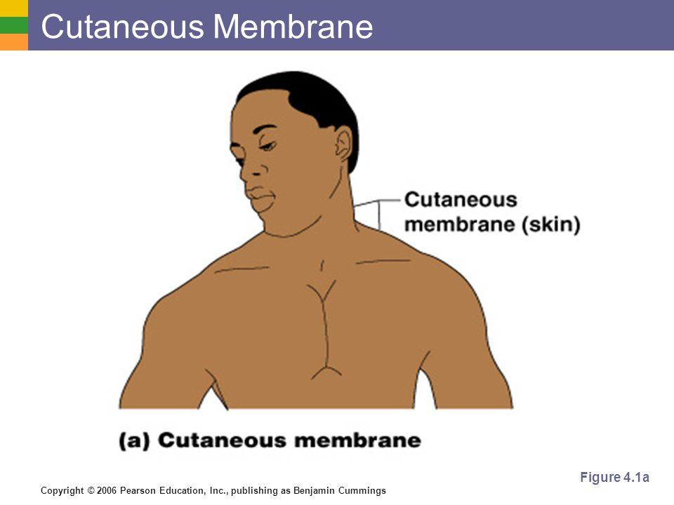 Cutaneous Membrane Figure 4.1a