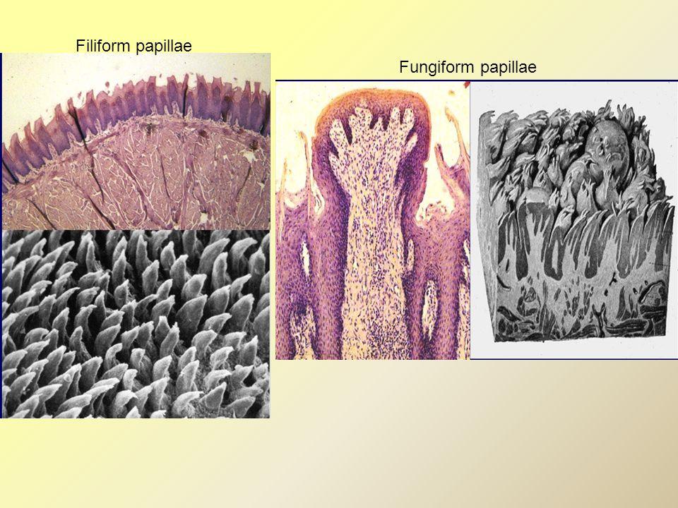Filiform papillae Fungiform papillae