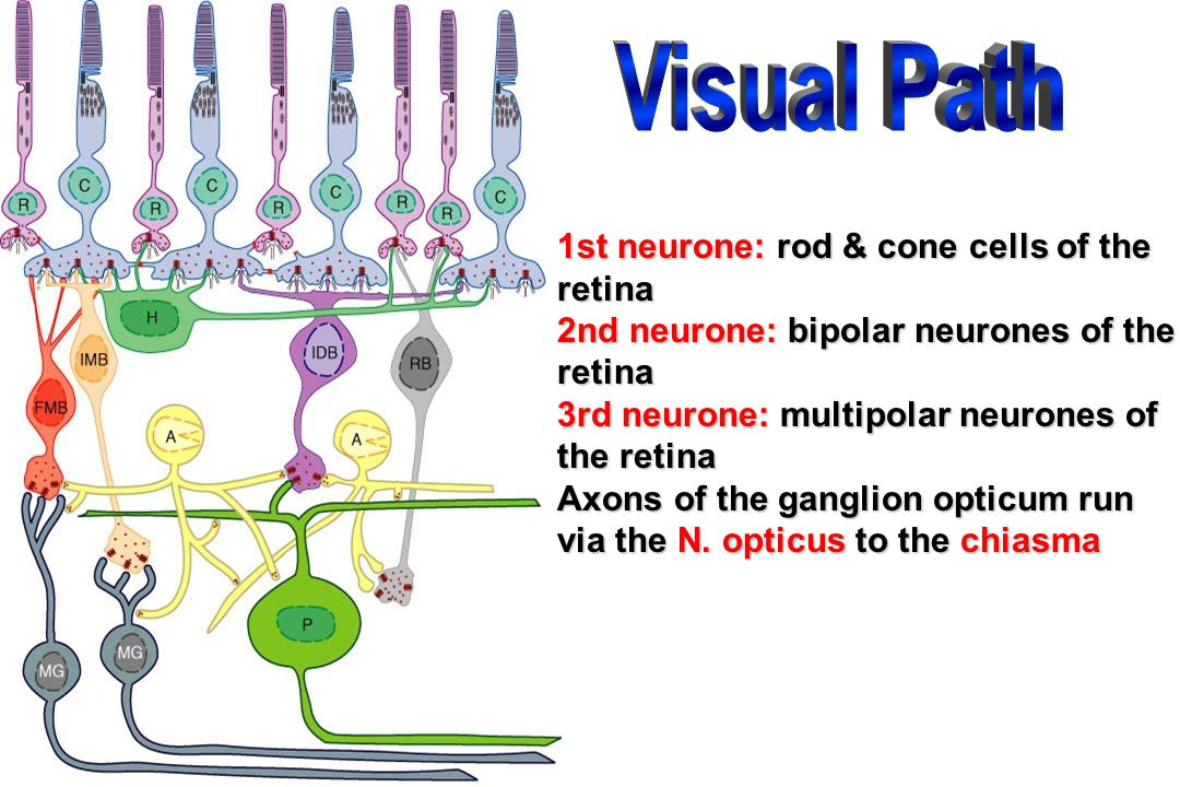 Visual Path 1st neurone: rod & cone cells of the retina