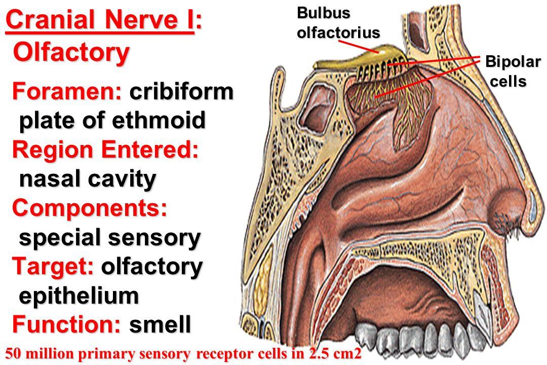 Cranial Nerve I: Olfactory
