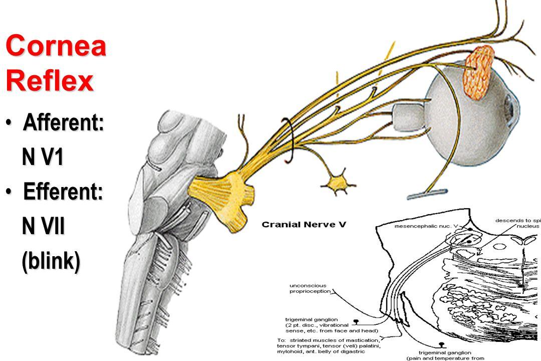 Cornea Reflex Afferent: N V1 Efferent: N VII (blink) Ciliary ganglion