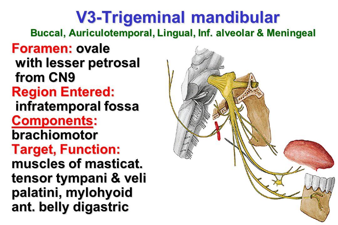 V3-Trigeminal mandibular Buccal, Auriculotemporal, Lingual, Inf