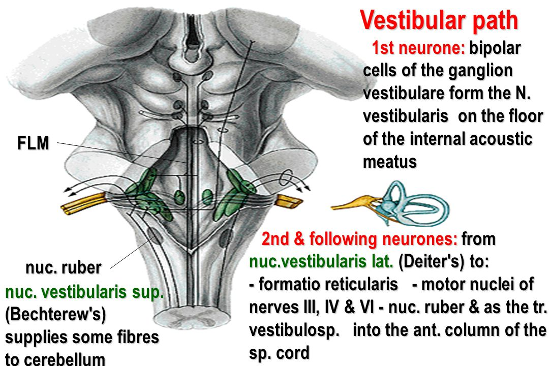 Vestibular path 1st neurone: bipolar cells of the ganglion vestibulare form the N. vestibularis on the floor of the internal acoustic meatus.