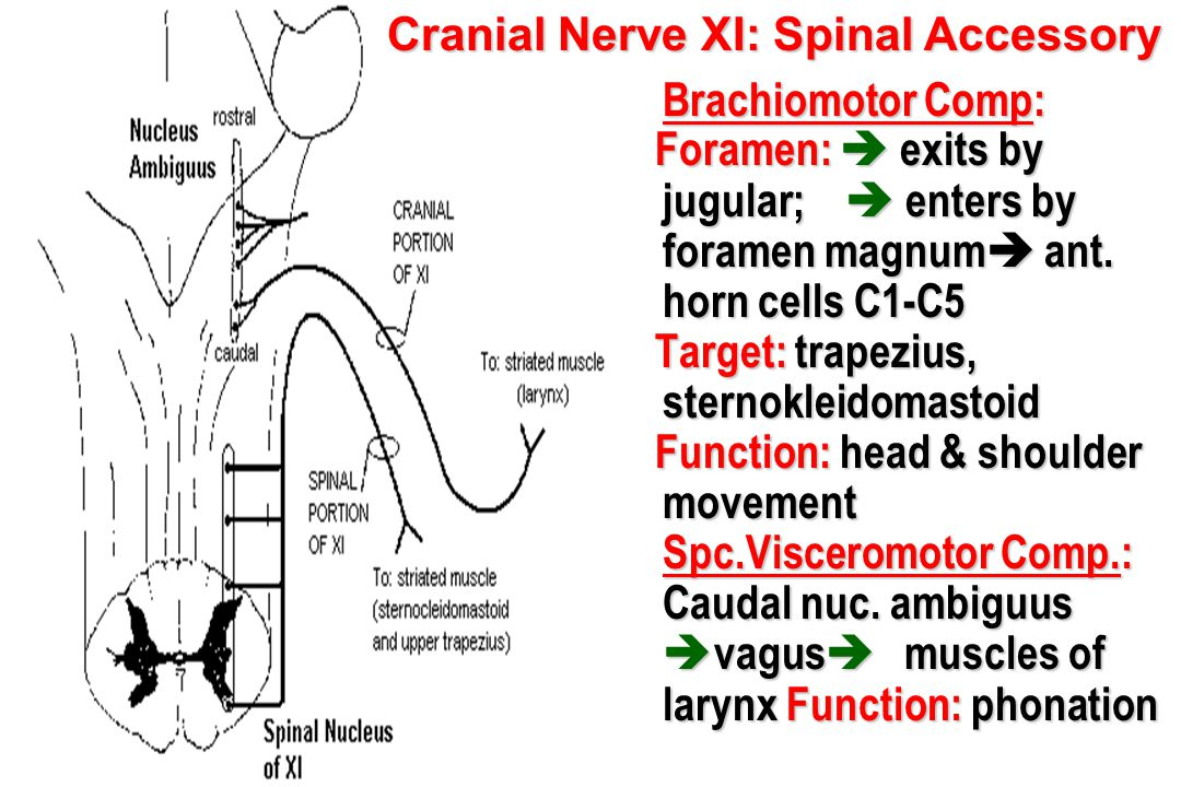 Cranial Nerve XI: Spinal Accessory