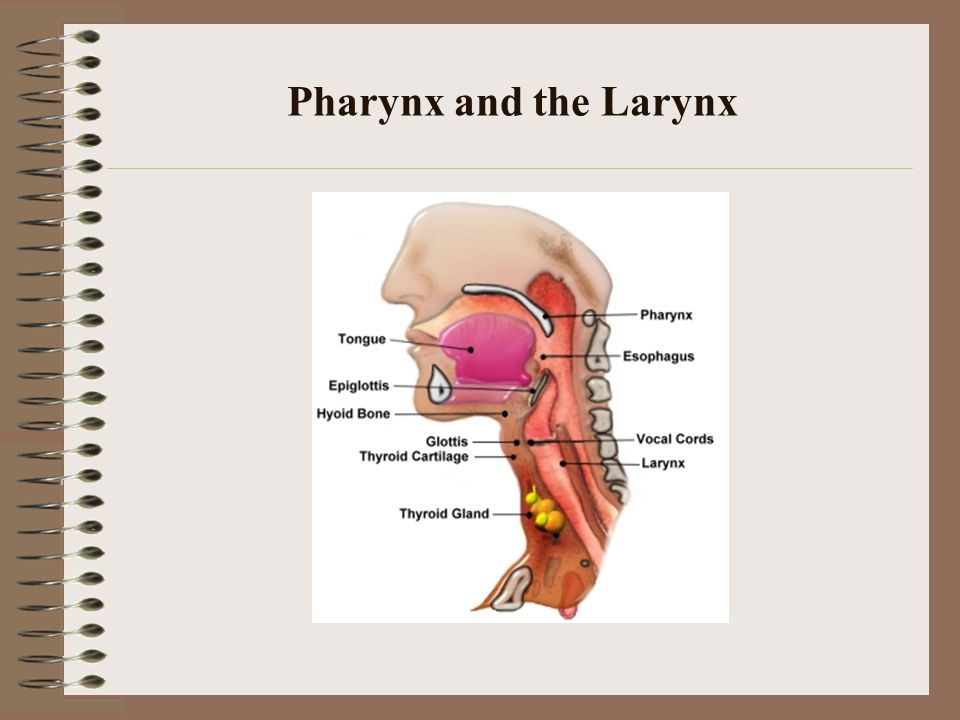 Pharynx and the Larynx
