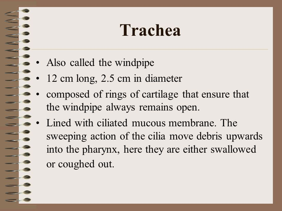 Trachea Also called the windpipe 12 cm long, 2.5 cm in diameter