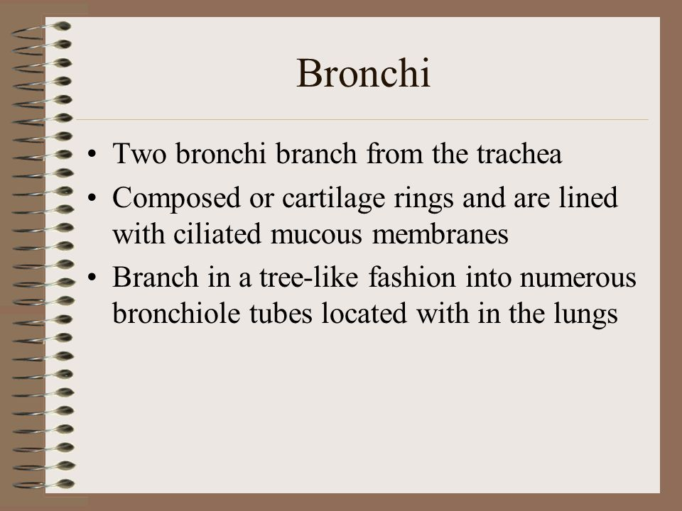 Bronchi Two bronchi branch from the trachea