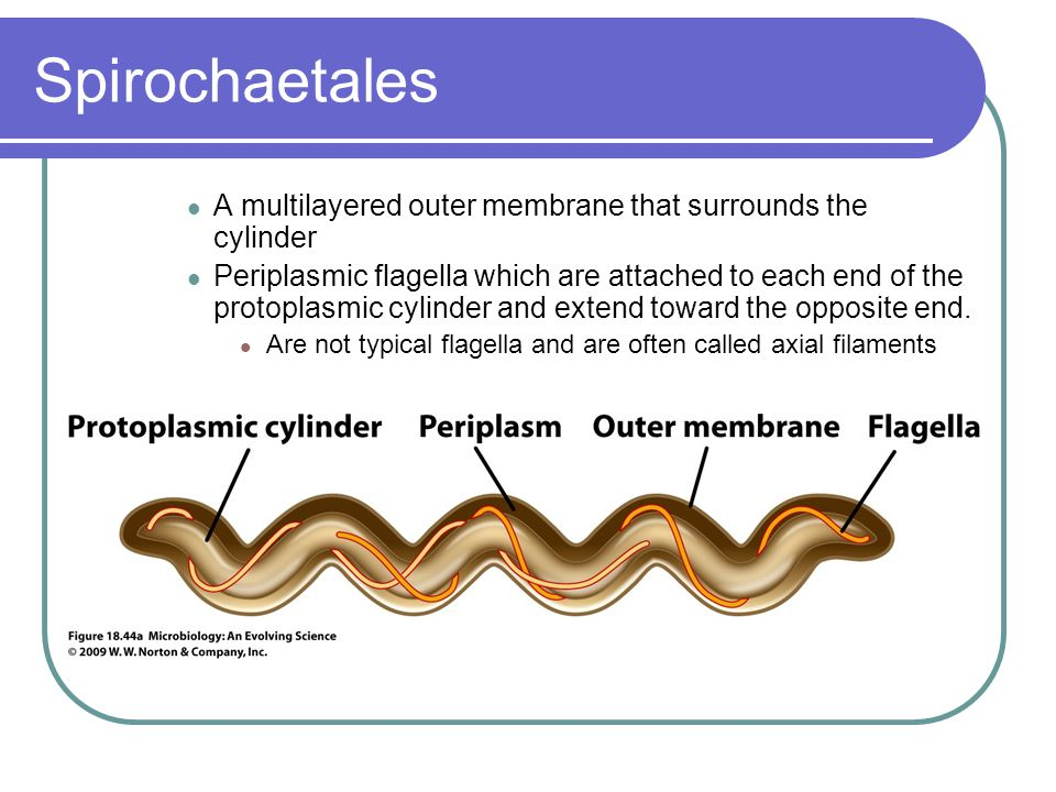 Spirochaetales A multilayered outer membrane that surrounds the cylinder.
