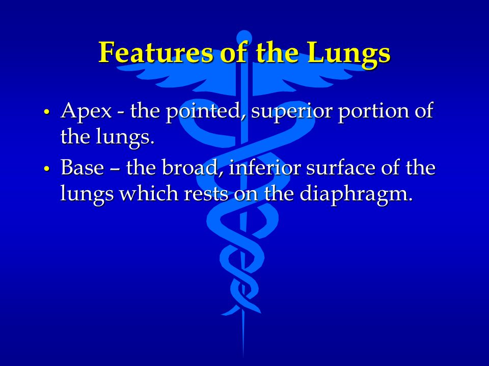 Features of the Lungs Apex - the pointed, superior portion of the lungs.