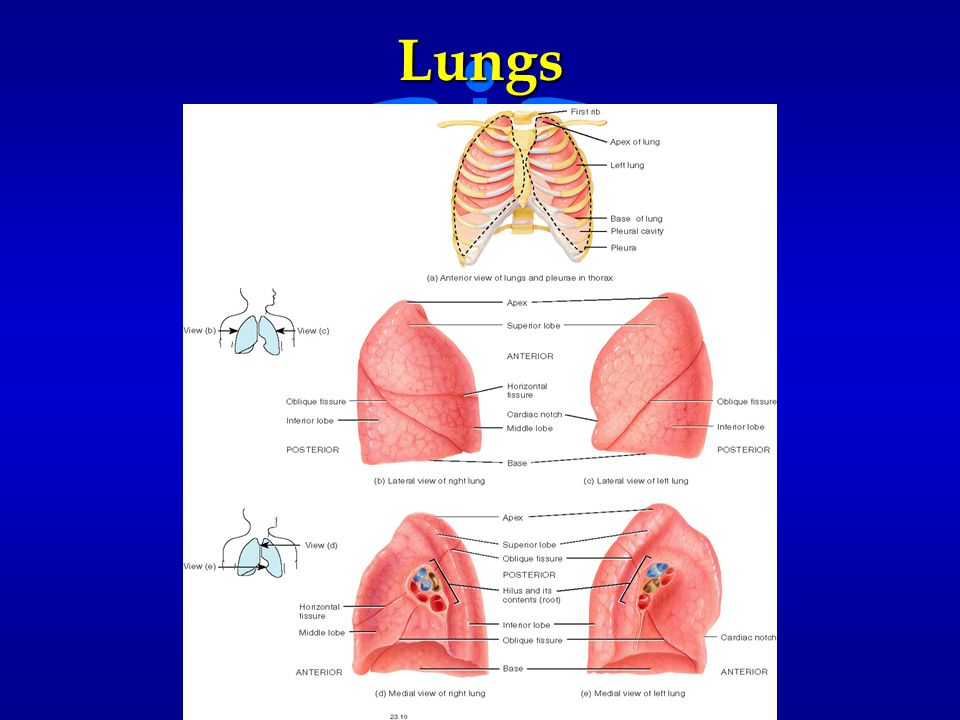 Lungs