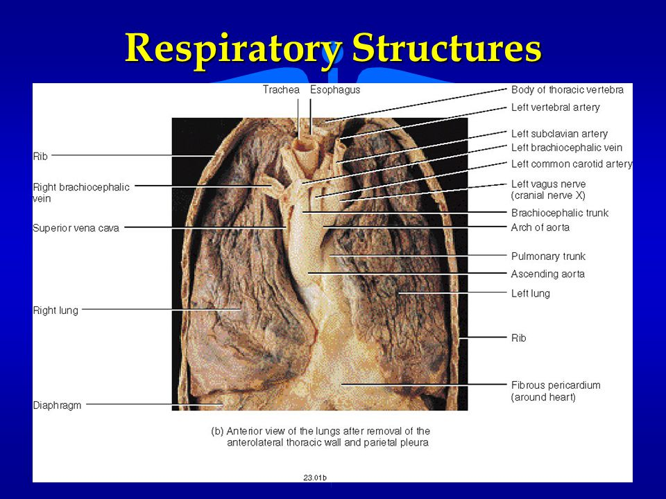 Respiratory Structures