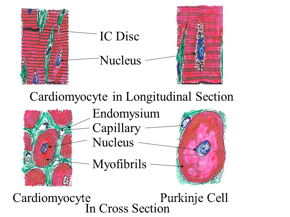 IC Disc Nucleus. Cardiomyocyte in Longitudinal Section. Endomysium. Capillary. Nucleus. Myofibrils.