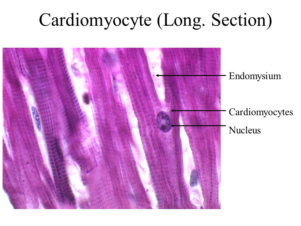 Cardiomyocyte (Long. Section)