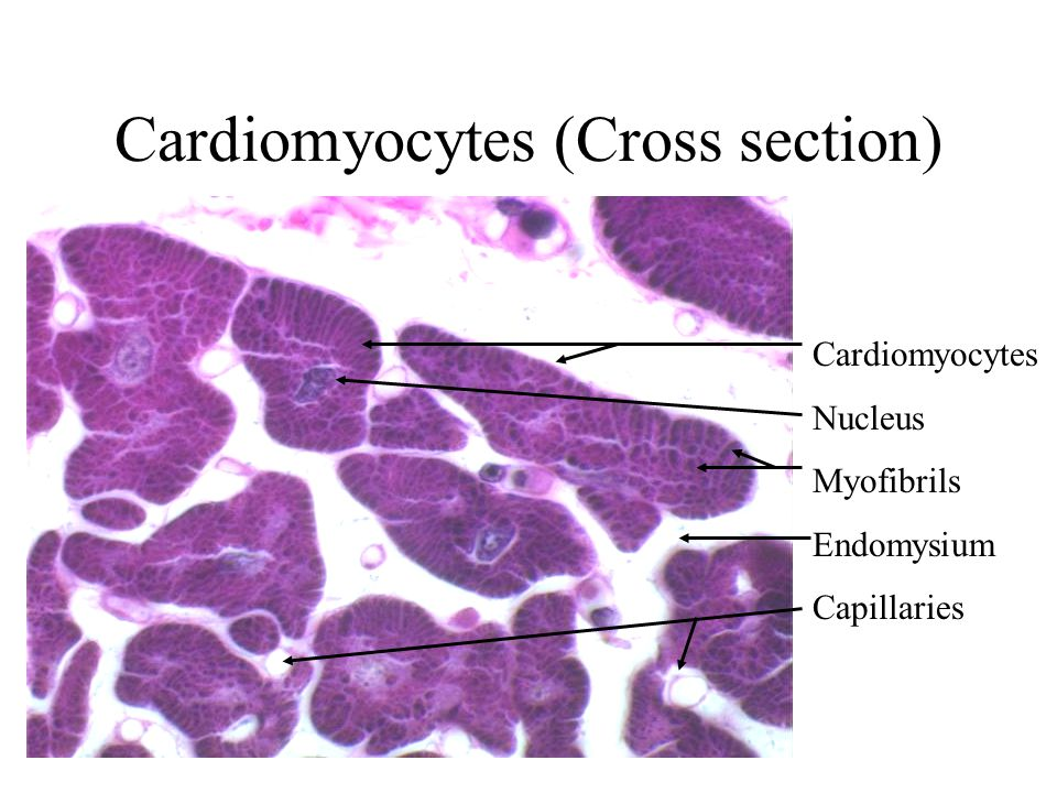 Cardiomyocytes (Cross section)
