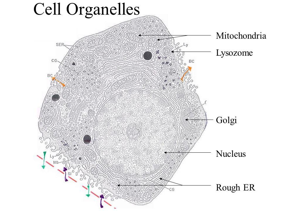 Cell Organelles Mitochondria Lysozome Golgi Nucleus Rough ER