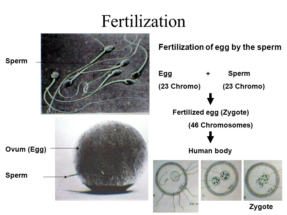 Fertilization Fertilization of egg by the sperm Egg + Sperm Sperm