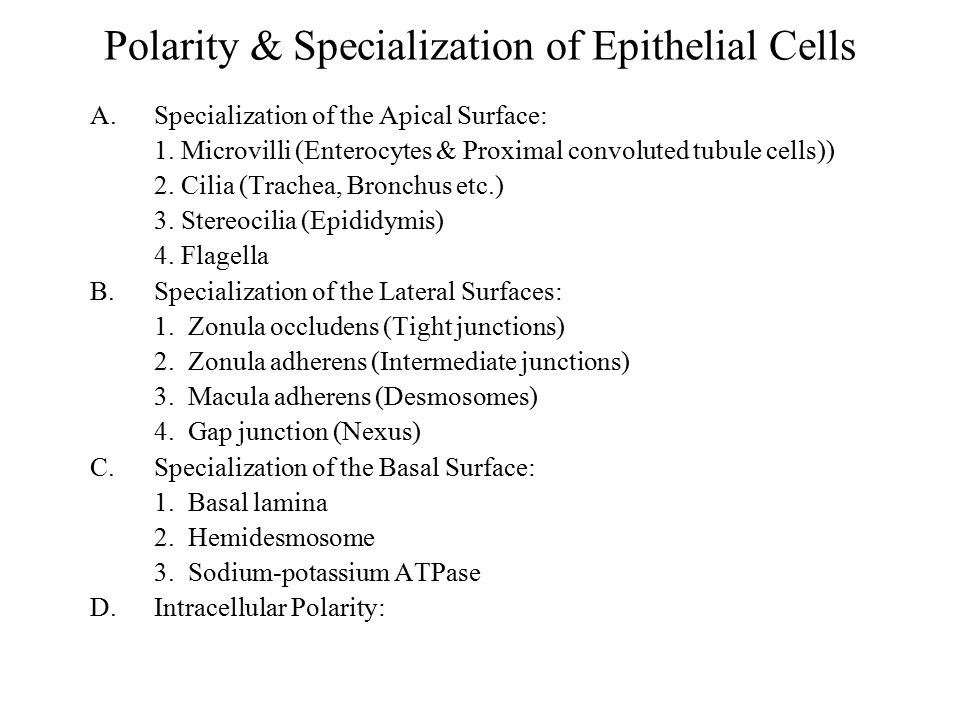 Polarity & Specialization of Epithelial Cells