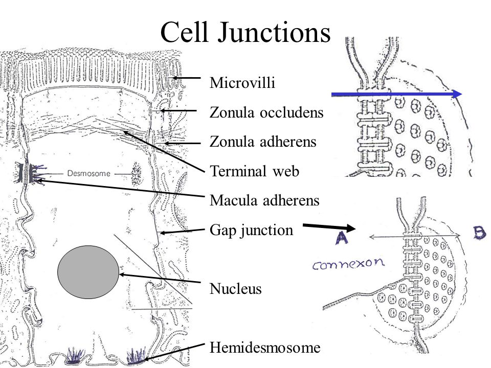 Cell Junctions Microvilli Zonula occludens Zonula adherens