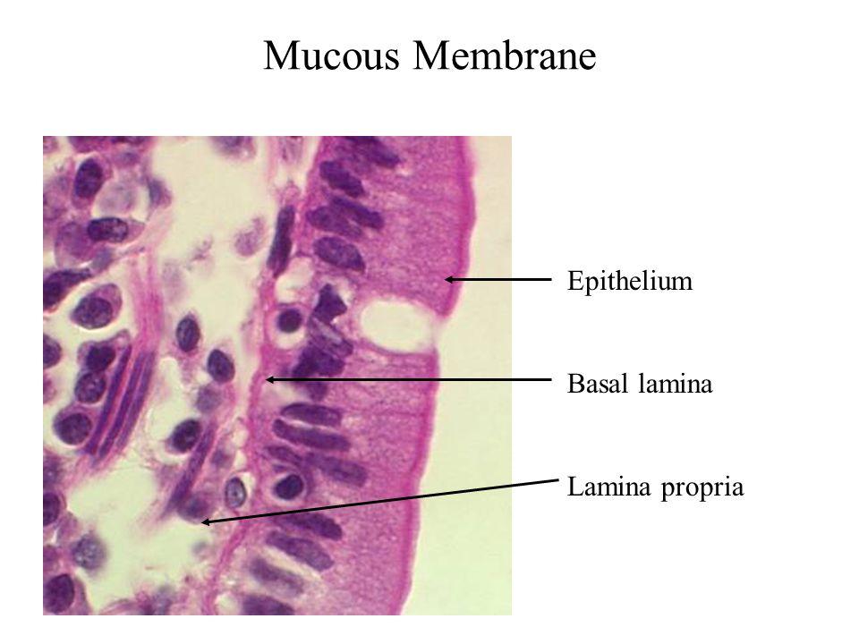 Mucous Membrane Epithelium Basal lamina Lamina propria