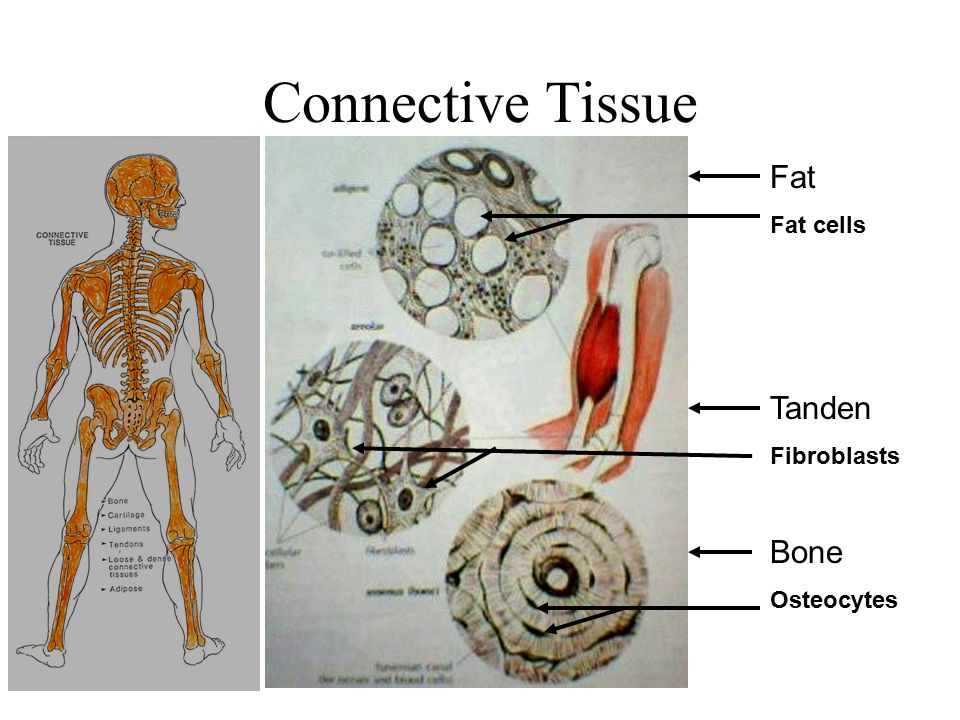Connective Tissue Fat Fat cells Tanden Fibroblasts Bone Osteocytes