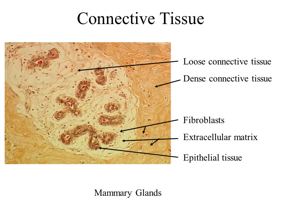 Connective Tissue Loose connective tissue Dense connective tissue