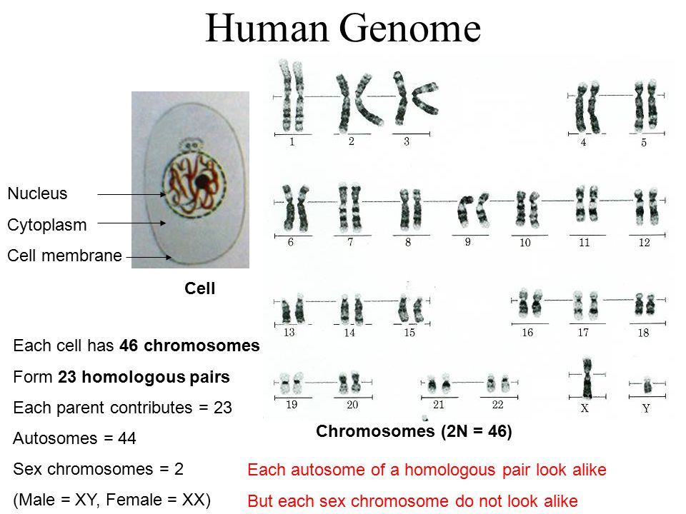 Human Genome Nucleus Cytoplasm Cell membrane Cell