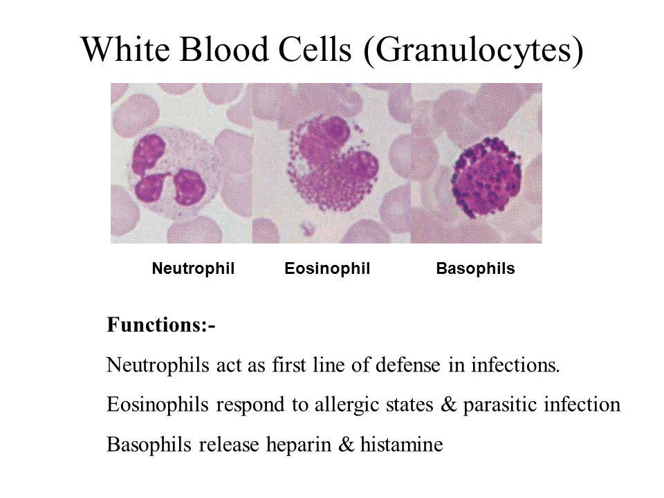 White Blood Cells (Granulocytes)