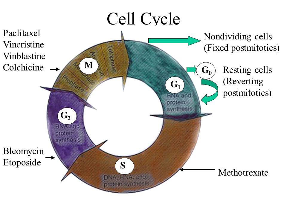 Cell Cycle Paclitaxel Vincristine Vinblastine Colchicine