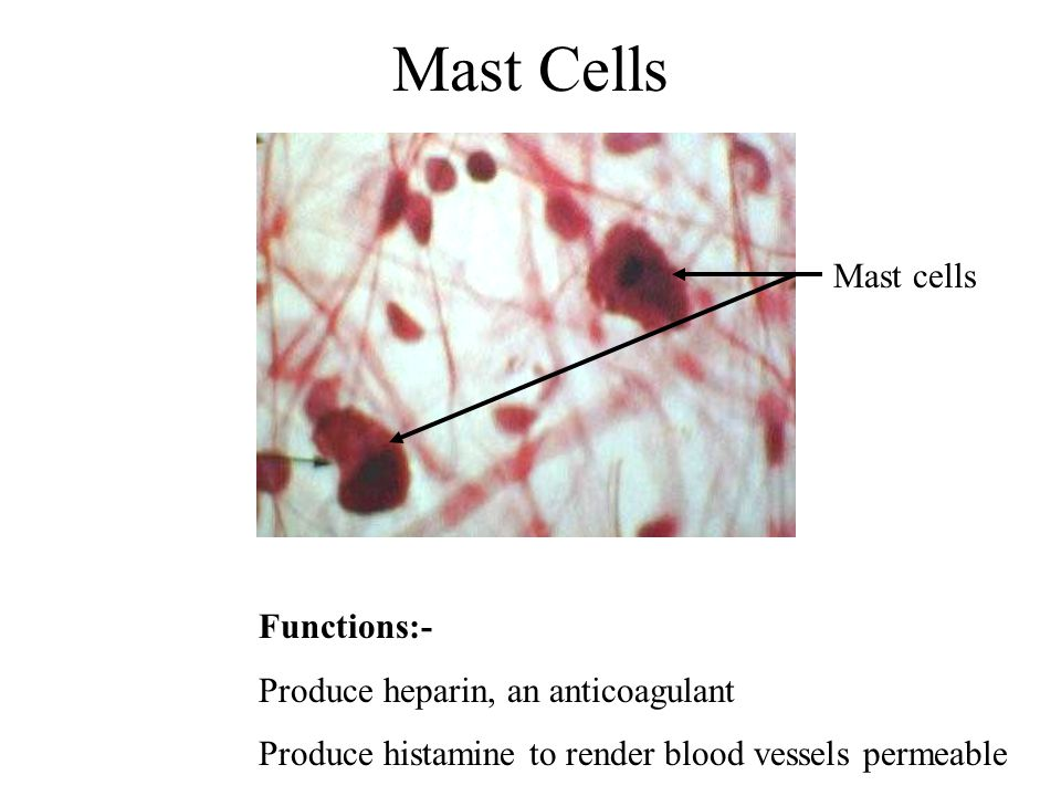 Mast Cells Mast cells Functions:- Produce heparin, an anticoagulant