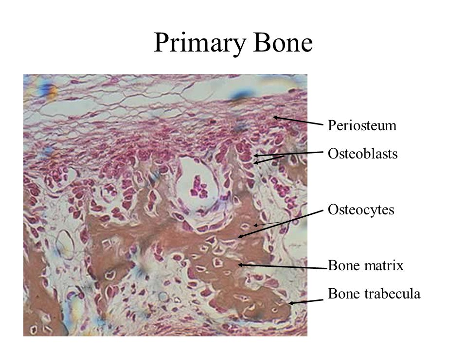 Primary Bone Periosteum Osteoblasts Osteocytes Bone matrix