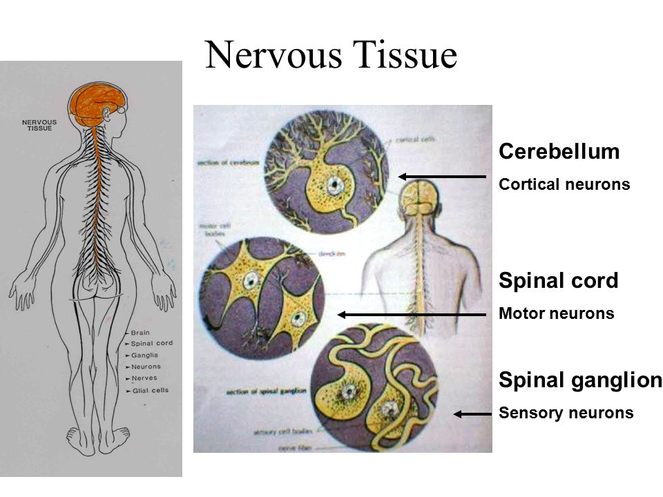 Nervous Tissue Cerebellum Spinal cord Spinal ganglion Cortical neurons