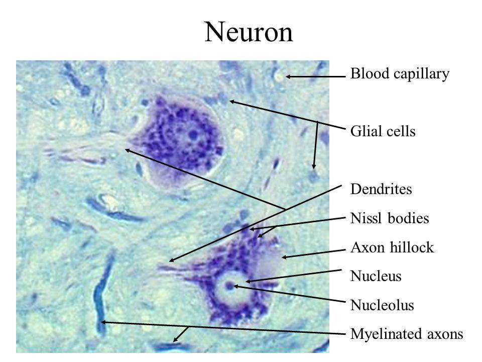 Neuron Blood capillary Glial cells Dendrites Nissl bodies Axon hillock