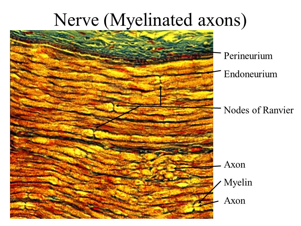 Nerve (Myelinated axons)