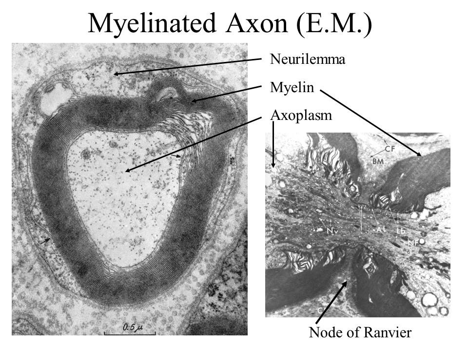 Myelinated Axon (E.M.) Neurilemma Myelin Axoplasm Node of Ranvier