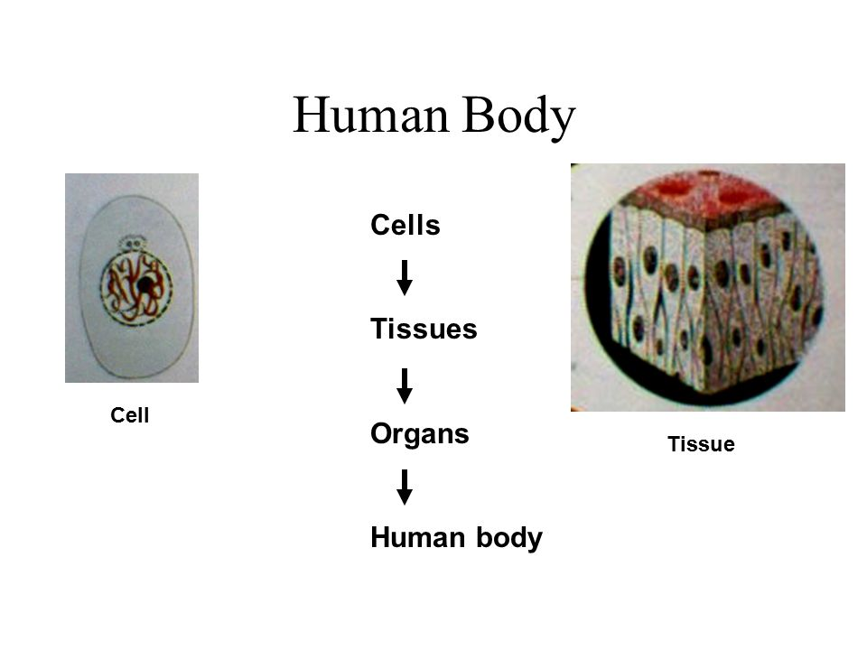 Human Body Cells Tissues Organs Human body Cell Tissue