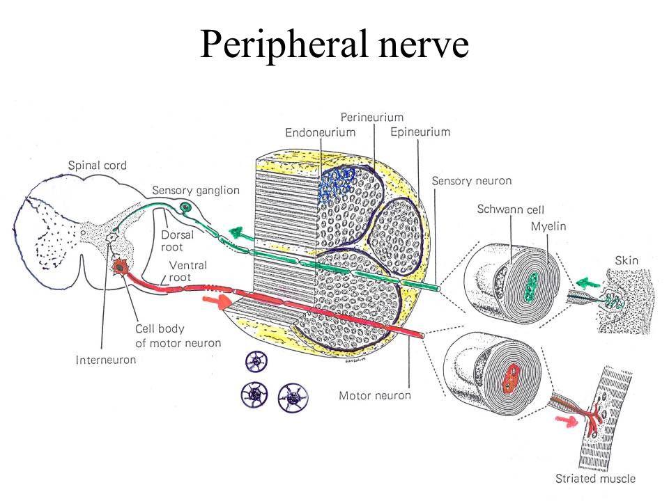 Peripheral nerve