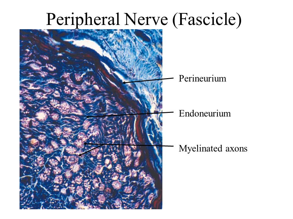 Peripheral Nerve (Fascicle)