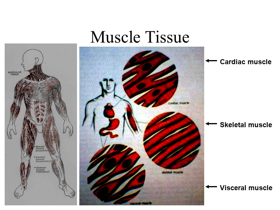 Muscle Tissue Cardiac muscle Skeletal muscle Visceral muscle