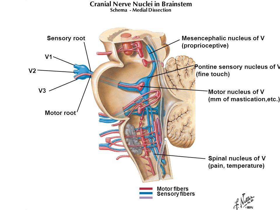 Mesencephalic nucleus of V (proprioceptive)