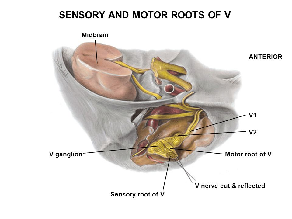 SENSORY AND MOTOR ROOTS OF V