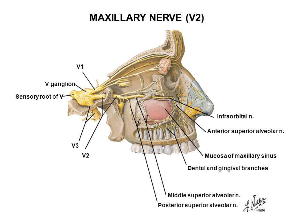 MAXILLARY NERVE (V2) V1 V ganglion Sensory root of V Infraorbital n.