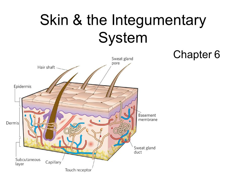 Skin & the Integumentary System